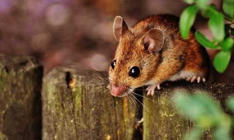 Εξοντώστε τα ποντίκια με... φυσικό τρόπο - Τι προτείνει επιστήμονας