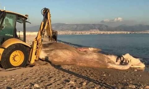 Ινστιτούτο Θαλάσσιας Προστασίας: Δείτε πώς ξεβράστηκε στον Πειραιά η φάλαινα