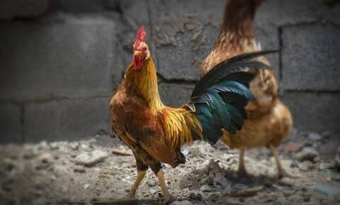 Απίστευτη κλοπή στο Κορωπί: Έτσι εξαφανίστηκε ο «θησαυρός» από το κοτέτσι -165.000 ευρώ έκαναν φτερά