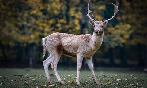 Tραγωδία: Κυνηγός σκοτώθηκε από ελάφι την ώρα που το τάιζε