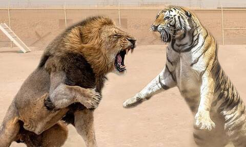 Λιοντάρι εναντίον τίγρης: Ποιος θα βγει νικητής;