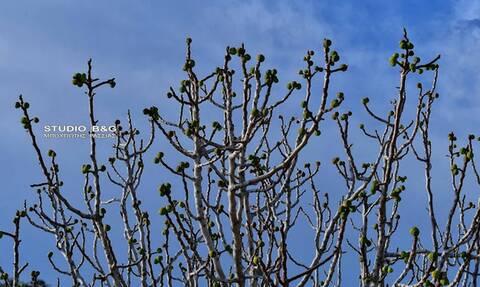 Ναύπλιο: Μαζί με τον καιρό «τρελάθηκε» και η φύση - Δείτε τι βγήκε στα δέντρα (pics)