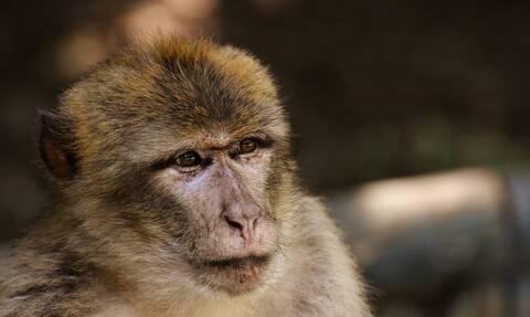 Στην Εντατική βρέφος σε κρίσιμη κατάσταση μετά από επίθεση μαϊμούς