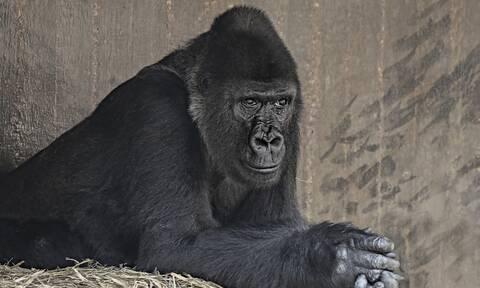 Κορονοϊός: Θετικοί στον ιό γορίλες σε ζωολογικό κήπο στις ΗΠΑ
