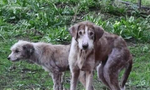 Βόλος: Άγρια κακοποίηση σκύλων – Βρέθηκαν σκελετωμένοι και βασανισμένοι