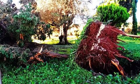 Πρέβεζα: Μεγάλες καταστροφές από την κακοκαιρία - Η μανία του αέρα ξερίζωσε πανύψηλα δέντρα (pics)