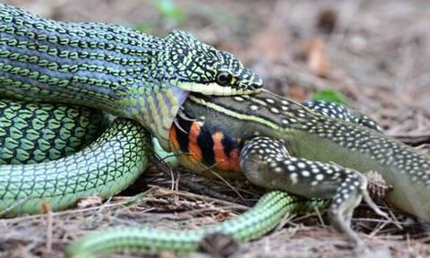Φίδι κατασπαράζει «δράκο» στο πι και φι!