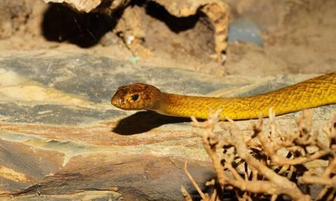 Τρόμος: Δηλητηριώδες φίδι δάγκωσε 9χρονη ενώ κοιμόταν