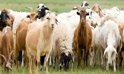 ΟΠΕΚΕΠΕ: Ενίσχυση κτηνοτρόφων - Μέχρι πότε μπορείτε να καταθέσετε τα δικαιολογητικά