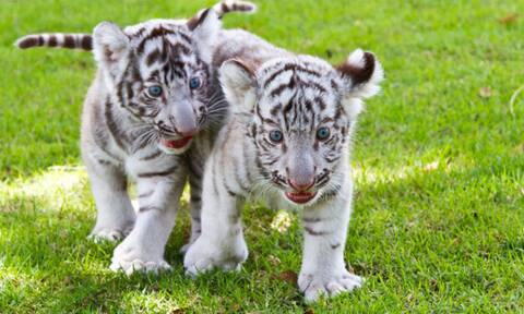 Πακιστάν: Δύο μωρά λευκά τιγράκια πέθαναν στο ζωολογικό πάρκο της Λαχόρης πιθανόν από covid-19
