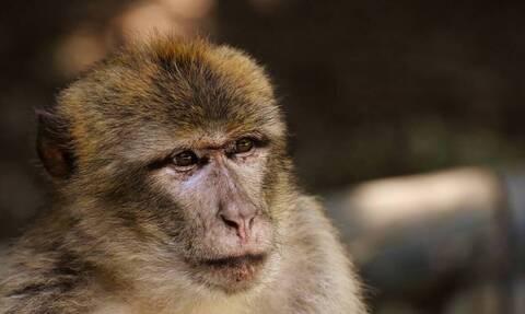 Φρίκη: Μαϊμούδες έκλεψαν βρέφος 8 ημέρων και το σκότωσαν