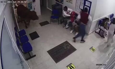 Πανικός από εισβολή αγελάδας σε νοσοκομείο - Όρμησε σε όσους περίμεναν στην αίθουσα αναμονής