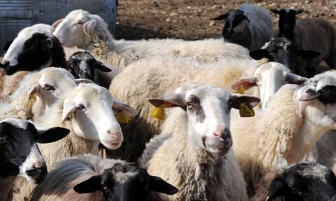 ΟΠΕΚΕΠΕ: Ενίσχυση κτηνοτρόφων - Λήγει η προθεσμία αιτήσεων