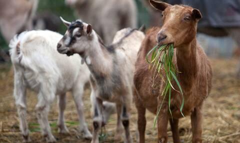 ΟΠΕΚΕΠΕ: Λήγει σήμερα (22/2) η προθεσμία αιτήσεων επιδότησης κτηνοτρόφων