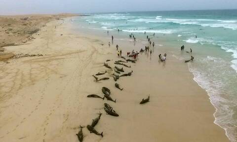 Μυστήριο στη Μοζαμβίκη: 86 δελφίνια εντοπίστηκαν νεκρά