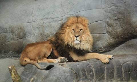 Πράγα: Ένας γορίλας και δύο λιοντάρια παρουσίασαν μολύνθηκαν με κορονοϊό στον ζωολογικό κήπο