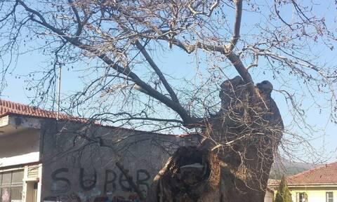 Δέντρα - μάρτυρες της Επανάστασης του 1821