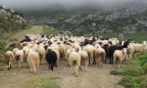 Πάνω από 1.500 τσοπάνηδες βρίσκονται στην Αττική – Διαθέτουν 240.000 αιγοπρόβατα και 3.000 βοοειδή