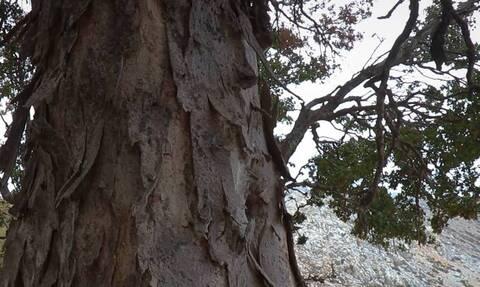 Το δέντρο που φυτρώνει μόνο στην Κρήτη τείνει να εξαφανιστεί (vid)