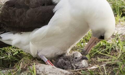 Η «Σοφία», το γηραιότερο άγριο πτηνό στον κόσμο έγινε ξανά… μητέρα στα 70 της
