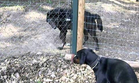 Ντόμπερμαν συναντάει λύκο και βάζει την ουρά στα σκέλια (video)
