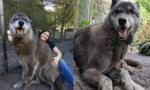 Τεράστιος λύκος με καρδιά… κουταβιού! Δείτε τι κάνει