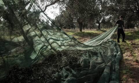 Πάτρα: Μεγάλη απάτη με ελαιόλαδο και σταφίδες - «Έφαγαν» 120.000 ευρώ από αγρότες