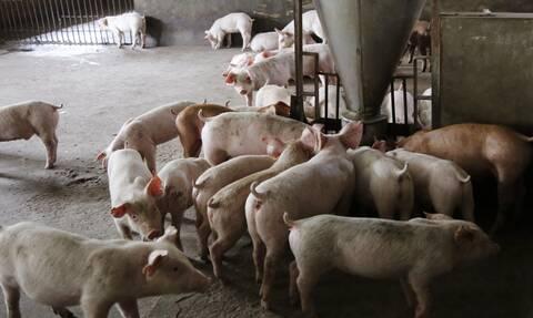 Έρευνα: Η θανατηφόρα νόσος των χοίρων στην Κίνα πίσω από τη «γέννηση» του κορονοϊού;