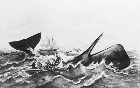 Έρευνα: Φάλαινες αντάλλασσαν πληροφορίες και αντιδρούσαν ομαδικά σε επιθέσεις φαλαινοθήρων