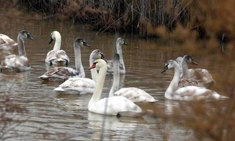Καστοριά: Αυξημένα μέτρα για την γρίπη των πτηνών μετά το κρούσμα σε πελεκάνο