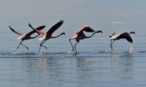 Ναύπλιο: Δεκάδες πανέμορφα φλαμίνγκο έκαναν... ανοιξιάτικο ποδαρικό (pics)