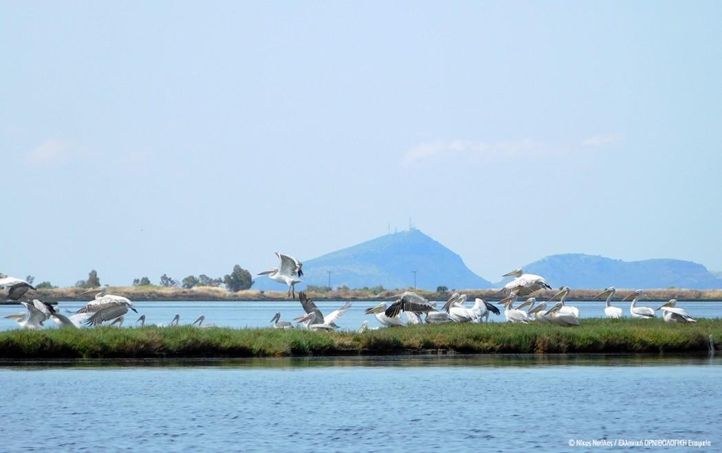 pelicans_messolongi_nikosnoulas_ornithologiki.jpg