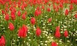 Τα κατακόκκινα λιβάδια της Χίου - Οι σπάνιες τουλίπες «λαλάδες» που φυτρώνουν στο νησί