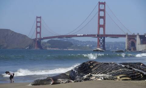 ΗΠΑ: Τέσσερις φάλαινες ξεβράστηκαν νεκρές σε παραλίες του Σαν Φρανσίσκο