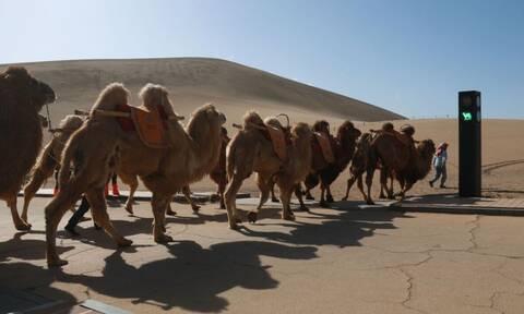 Κίνα: Δεν είναι φάρσα - Τοποθέτησαν φανάρια για καμήλες