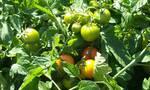 Μυτιλήνη: Μετανάστης καλλιεργούσε κάνναβη ανάμεσα σε… ντομάτες