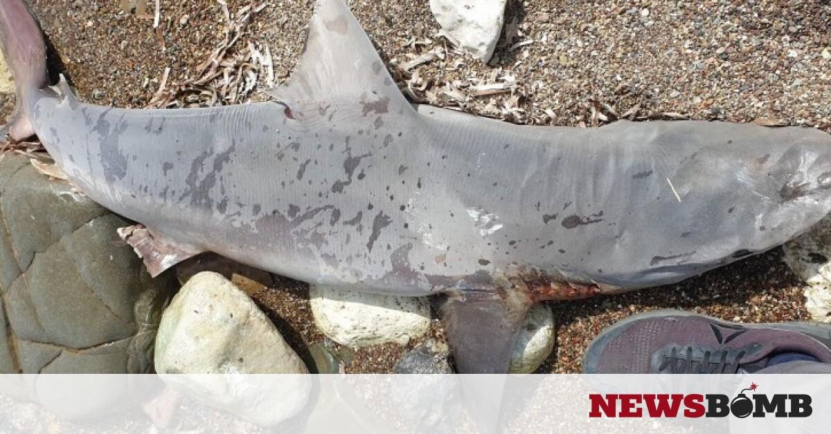 Κύπρος.  Νεκρός καρχαρίας πλένεται στην Κωνσταντινούπολη (φωτογραφίες)