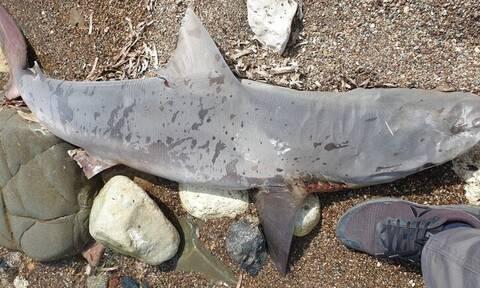 Κύπρος: Ξεβράστηκε νεκρός καρχαρίας στην Πόλη Χρυσοχούς (pics)