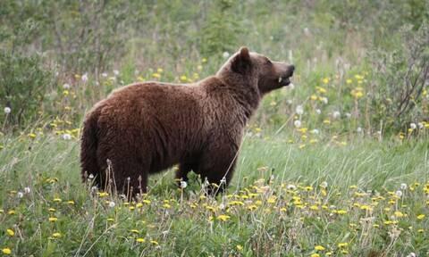 ΗΠΑ: Φρικτός θάνατος 40χρονου - Έπεσε νεκρός από επίθεση αρκούδας
