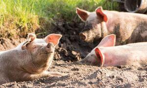 Φρίκη στη Βραζιλία: Τον ακρωτηρίασαν και τον τάισαν στα γουρούνια