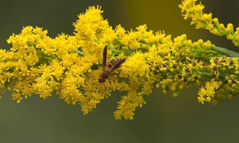 Σφήκες ...οι θαυματουργές: Ο ρόλος τους στο οικοσύστημα - Νέα μελέτη για τα «παρεξηγημένα έντομα»