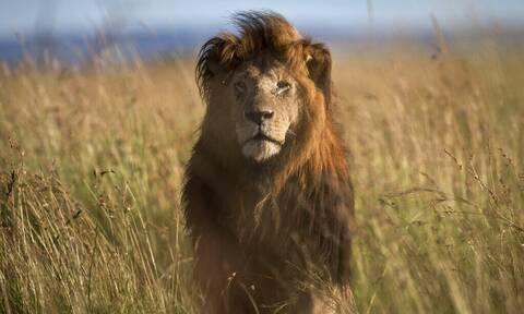 Νότια Αφρική: Η κυβέρνηση θα απαγορεύσει την εκτροφή λιονταριών σε αιχμαλωσία
