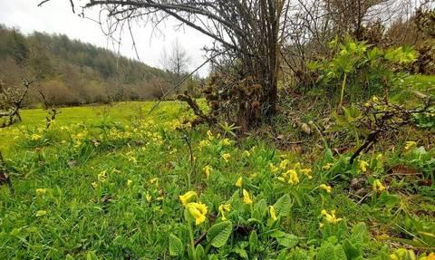 Το «Λουλούδι του Δαρβίνου» καλλιεργείται για πρώτη φορά στην Ελλάδα, σε βουνό της Δυτικής Μακεδονίας