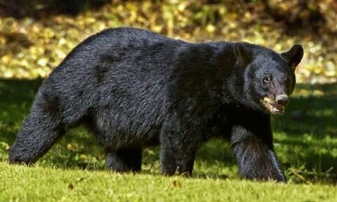 ΗΠΑ: Σοκ στο Κολοράντο - Αρκούδα επιτέθηκε και σκότωσε 39χρονη γυναίκα