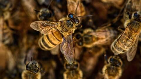Μέλισσες κορονοϊός