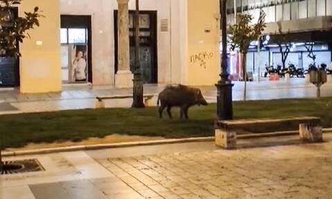 Θεσσαλονίκη: Αγριογούρουνο βγήκε για βόλτα στην Αριστοτέλους (video)