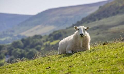 Ηράκλειο: Γυναίκες πιάστηκαν μαλλί με μαλλί και πλακώθηκαν με μαγκούρες για ένα πρόβατο!
