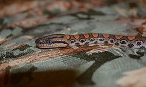 Σοκ στην Πάτρα: Φίδι έκανε βόλτες σε σπίτι - Ειδοποιήθηκε η Πυροσβεστική
