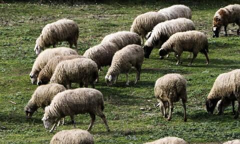 Ανακοινώθηκαν οι συνδεδεμένες ενισχύσεις για αιγοπρόβειο και βόειο κρέας