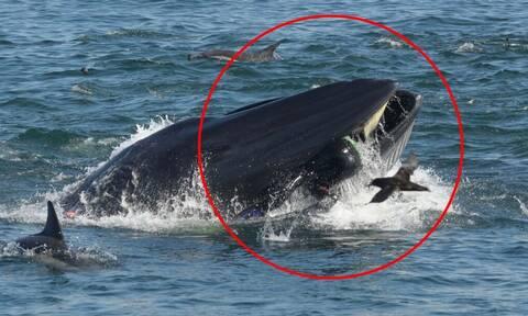 Συγκλονιστικό βίντεο: Φάλαινα «καταπίνει» δύτη!